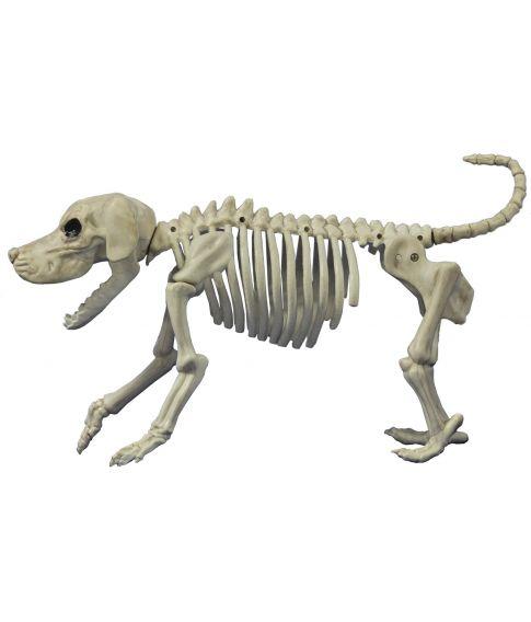 Beagle skelet