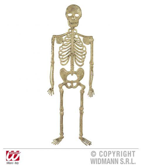 Skelet, 32 cm.